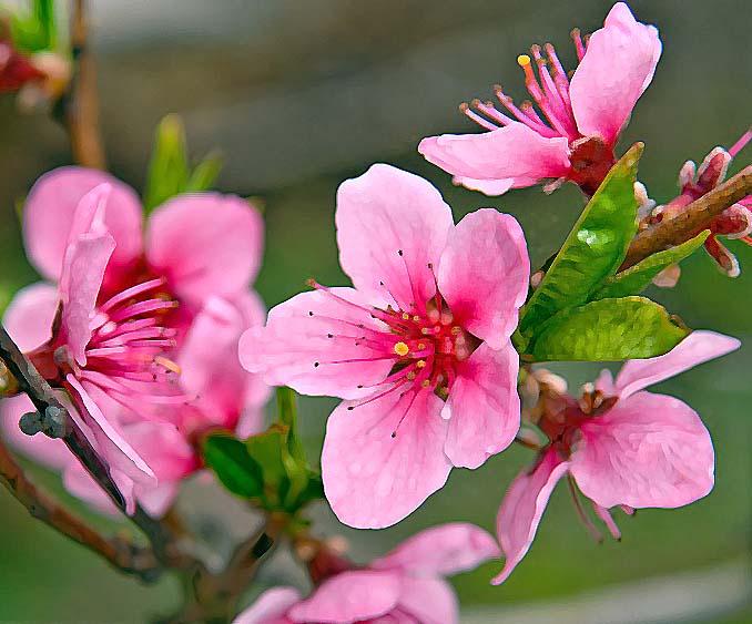 Фото цветы персика